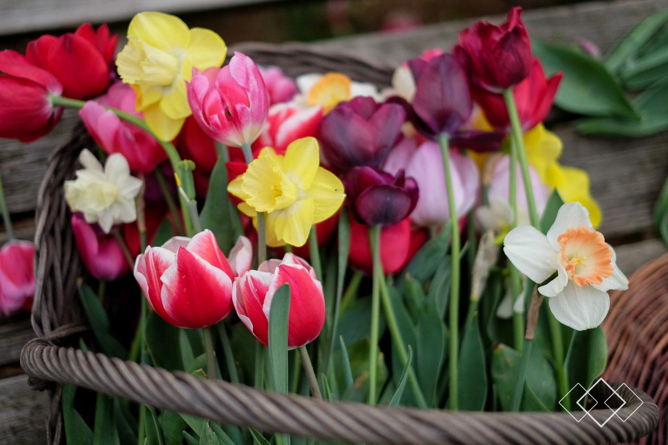 tulpen-plukken-2