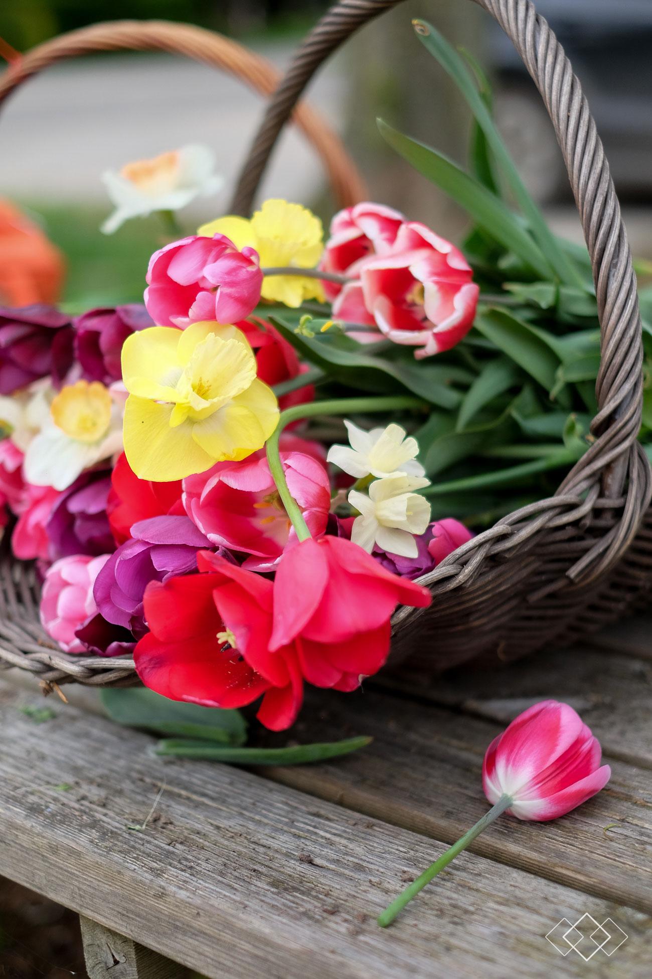 tulpen-plukken-5